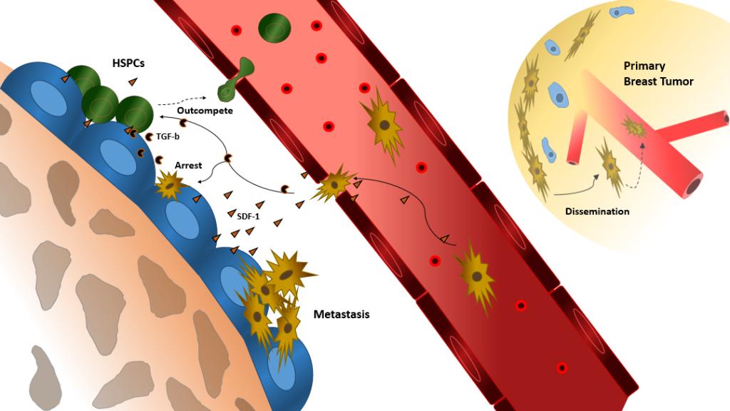 Tumor in HSPC niche